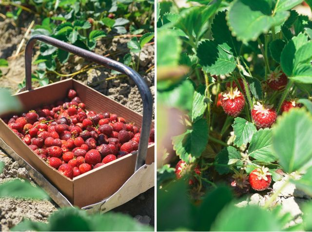 Strawberry Picking Diptych